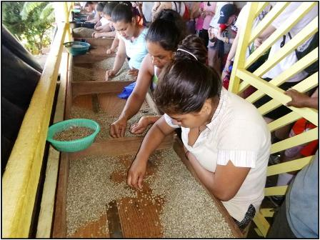 Women sorting                                               organic coffee at El                                               Porvenir