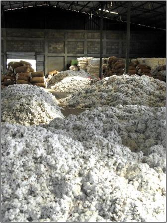 cotton in storage                                               ready for gin